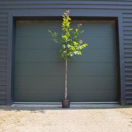 Walnotenboom 'Lange van Lod'