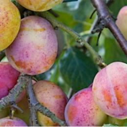 Prunus D. Victoria