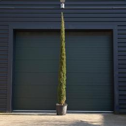 Italiaanse cipresboom 400 cm