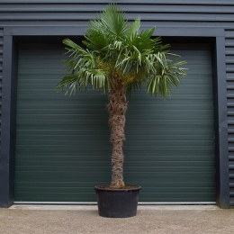 Chinese waaierpalm 190 cm stamhoogte