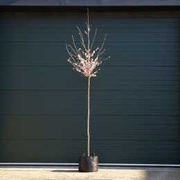 Japanse sierkers 'Autumnalis Rosea'
