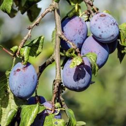 Prunus D. Czar