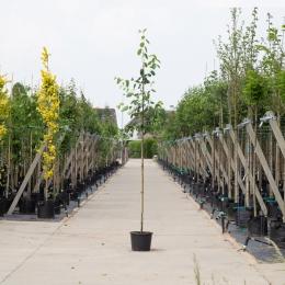 Krentenboom 'Robin Hill'