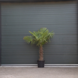 Chinese waaierpalm 60 cm stamhoogte