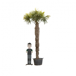 Chinese waaierpalm 290 cm stamhoogte