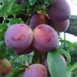 Prunus D. Reine Claude d'Althan