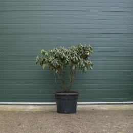 Rhododendron Catawbiense grandiflorum XXL